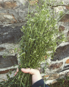 To delay period shepherds purse How to